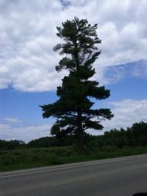 White Pine - Spirit Tree