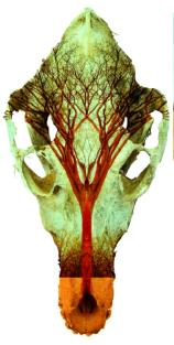 Laura Grisamore - Photo Fusion of Spirit Tree within animal skull