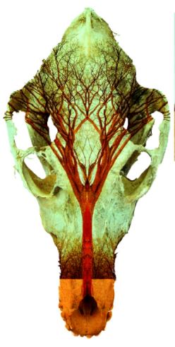 Laura Grisamore - Photo Fusion of Spirit Tree within animal skull